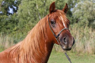 Head shot of a chestnutl arabian stallion at farm