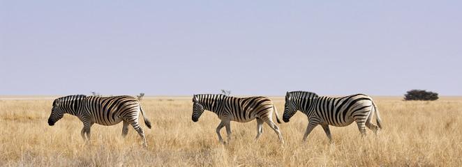 Aluminium Prints Zebra Three zebras in African savanna