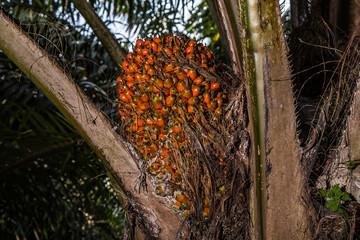 orange palm fruit on the tree