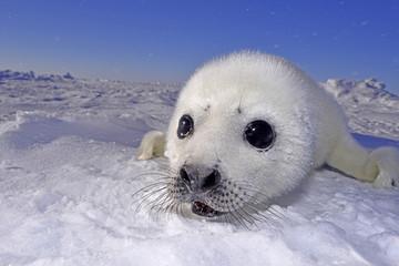 Seal pups -生まれたて アザラシ 赤ちゃん-