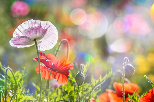 spring meadow with red poppies