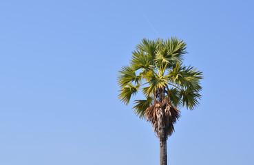 palm tree sugar background tropical nature green leaf park