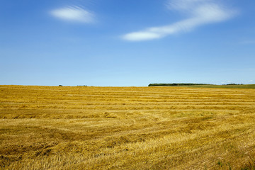 agricultural field .  wheat