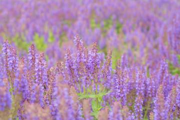Flowering sage in nature