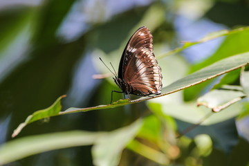 Great Egg-fly (Hypolimnas Misippus), Butterfly