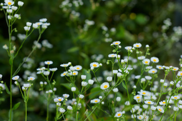 A flowering medicinal plant camomile (pharmaceutical camomile), shallow depth of field