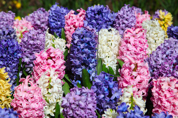 Multicolored flowers Hyacinths growing on the flowerbed on the f