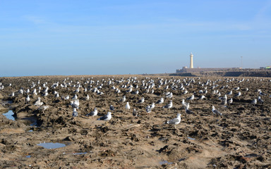 Rabat, Morocco - December 26, 2015: Seagulls on coast of the Atlantic ocean, Rabat