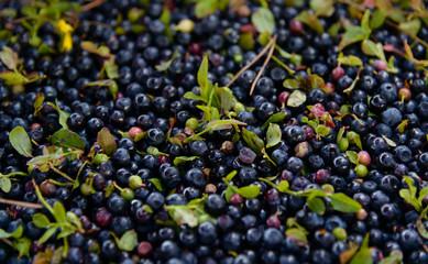 Spoed Foto op Canvas Olijfboom Blueberries
