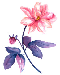 Vintage style watercolor drawing of pink georgina flower on white backround