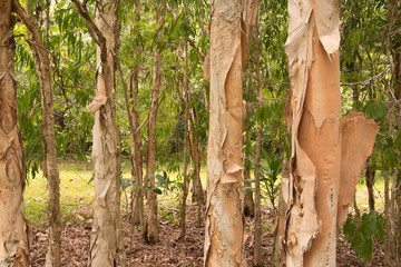 paperbark trees, Queensland, Australia