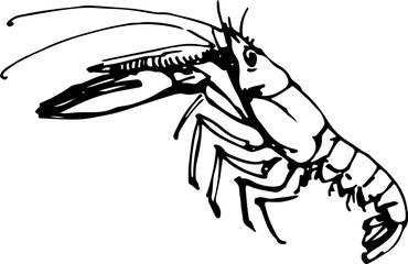 Langoustine. Vector illustration