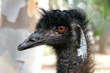 Portrait of black ostrich