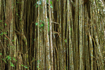 Strangler Fig, Curtain Fig near Yungaburra, Atherton Tablelands, Queensland, Australia