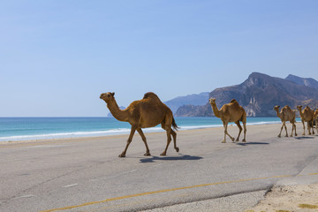 Camels on a road in Oman.
