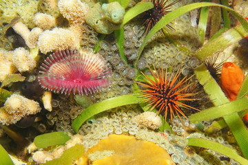 Feather duster worm and reef urchin Caribbean sea
