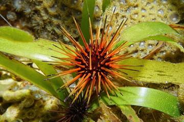 Reef urchin Echinometra viridis