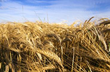 Yellow ripe rye
