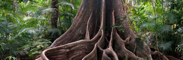 Poster de jardin Océanie buttress roots, rainforest view near Henrietta Creek, Wooroonooran National Park, North Queensland, Australia