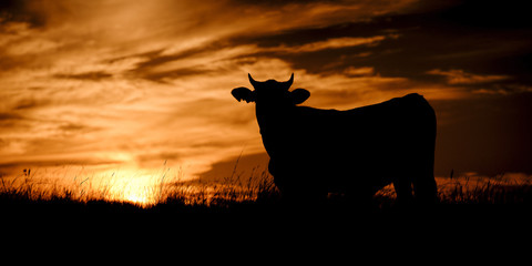 Silhouette of a cow in the late afternoon in Queensland, Australia.