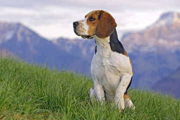 Beagle standing in grass with mountain peaks in background