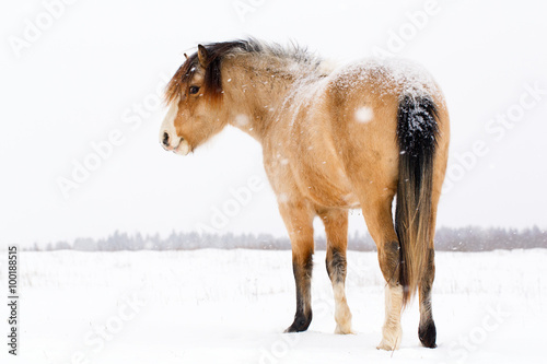 welsh pony at winter