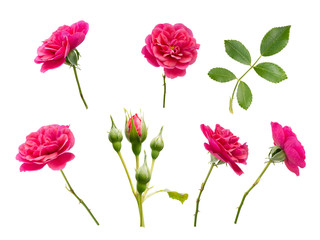 Pink roses, buds and leaves
