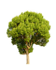 Irvingia malayana also known as Wild Almond, tropical tree