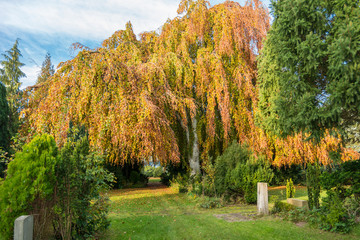 Yellow and red leaves and  foliage at the willow tree on the cemetery in the Altona district of Hamburg. It's a rural cemetery, from autumnal colored, in the north of the borough