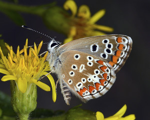 The Southern Brown Argus (Aricia cramera)