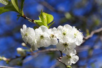 cherry blossom ,  spring.