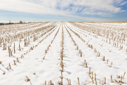 Rows of Cut Corn Field in Winter