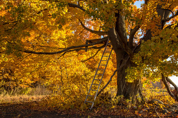 October Hunting Blind. Rickety hunters blind perched in a maple tree and camouflaged by peak autumn foliage