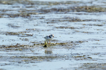 Piping Plover tucked behind weed