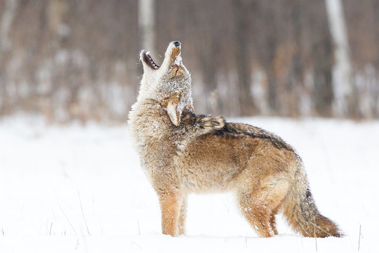 Coyote Howling in the snow