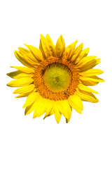sunflower on white background isolated