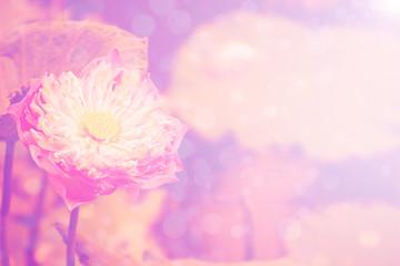 lotus pink background