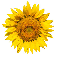 sunflower on white background isolated