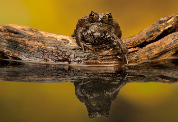Fototapete - Water testing common toad