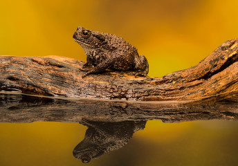 Fototapete - common toad on a log