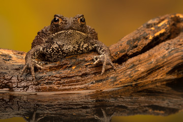 Fototapete - Grumpy toad looking at the camera