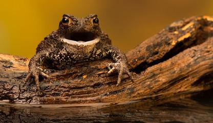 Fototapete - Common toad burp