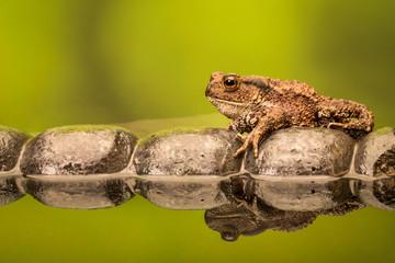 Fototapete - Common toad