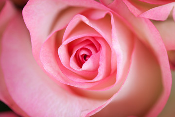 Pink rose closeup on white bright background.