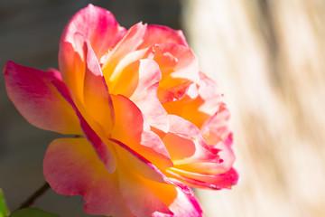 陽射しを浴びるバラ