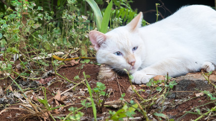 White Fluffy Cat with Blue Eye Playing with Plant in Back Yard, Selective Focus