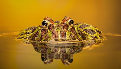 Fototapete - mr grumpy a horned frog