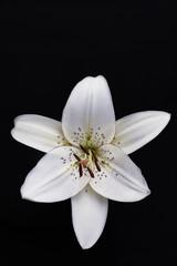 Still life fiore di giglio bianco realizzato in studio