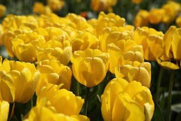 Lots of bright yellow tulips in the garden in the sun