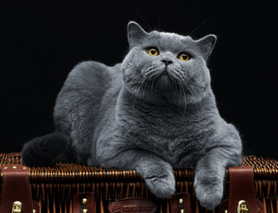 Wall Mural - Big british cat lying on suitcase